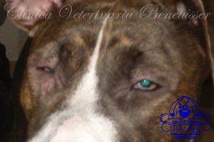 entropión perros diagnósticos casos clínicos