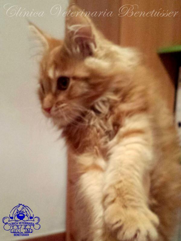 cvbenetússer-síndrome-del-gato-paracaidista (2)
