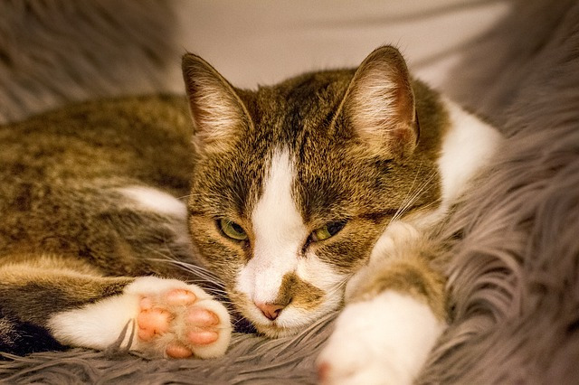 gatos cistitis felina