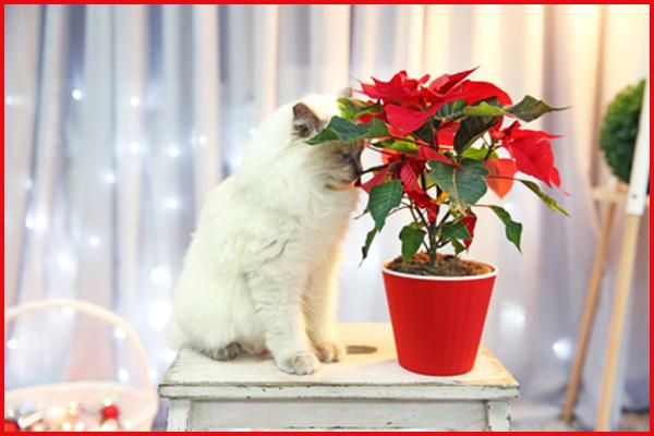 Poinsettia gatos flor-de-pascua