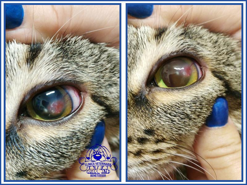 veterinaria benetússer casosclínicos gatos queratitis
