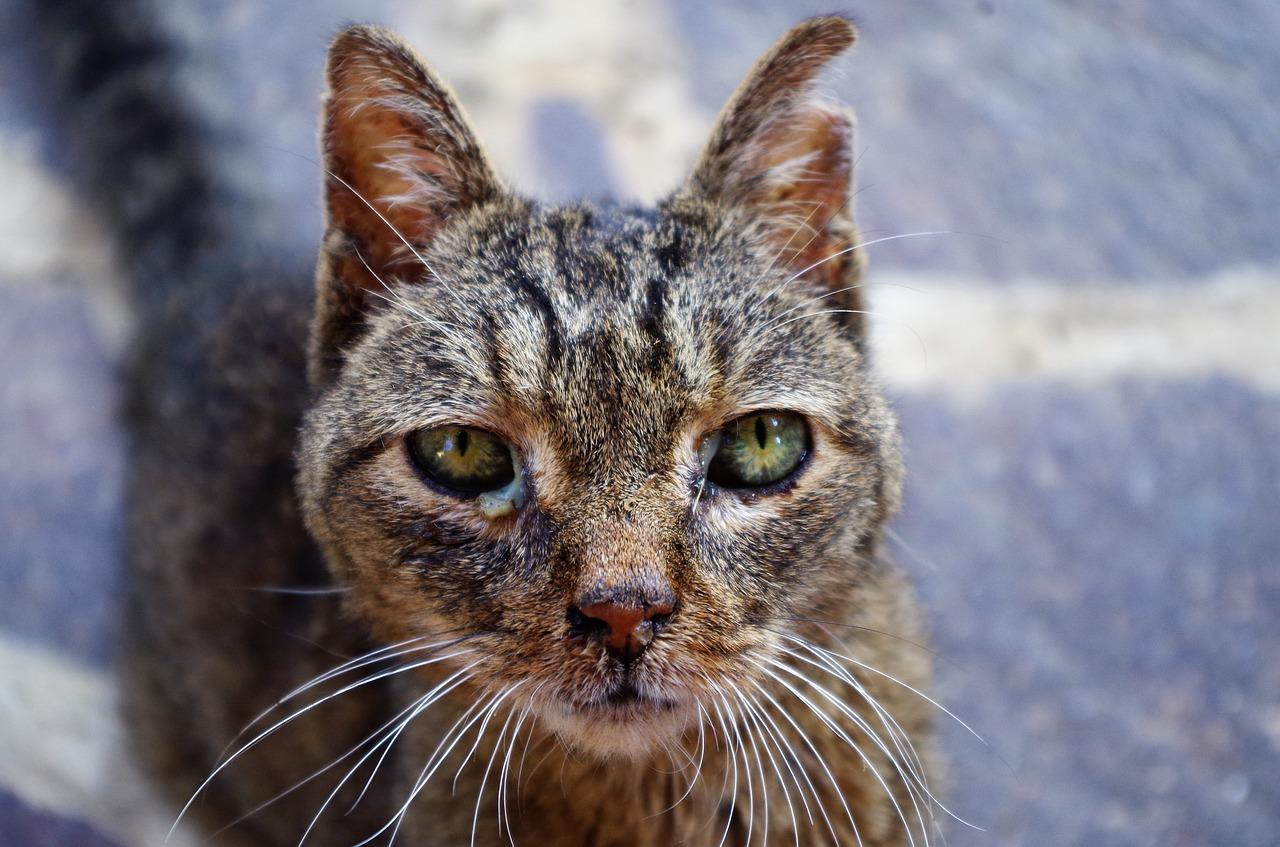 cvbenetusser-casosclínicos-calicivirus-felino