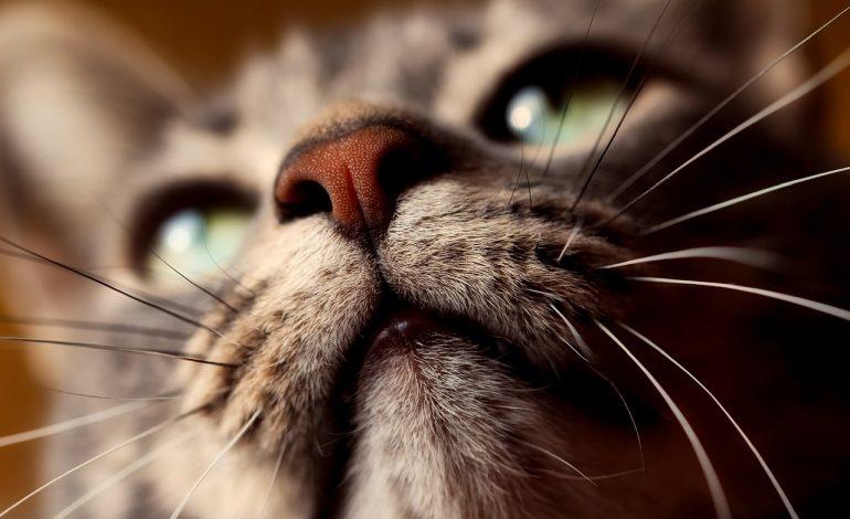 gato con grandes bigotes